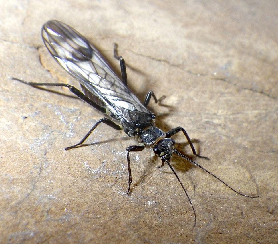 Western Glacier Stonefly  (Zapada glacier) - Joe Giersch, USGS