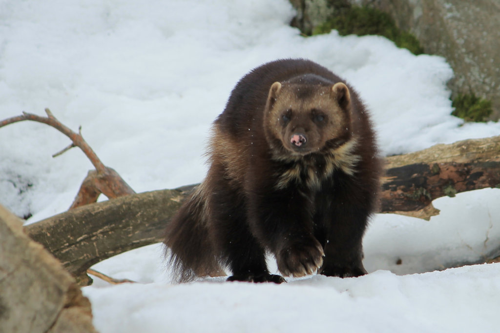 Wolverine (Gulo gulo, female, born 1996) at the Helsinki Zoo