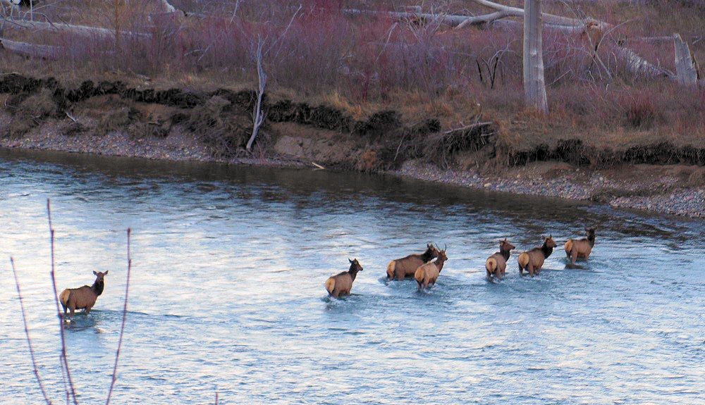 Elk Crossing North Fork of Flathead River, north of Camas Bridge, March 4, 2016 - Greg Evans