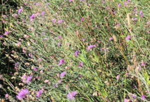 Spotted Knapweed along Pacific Northwest Trail in Flathead NF, Sep 13, 2014 - William K. Walker