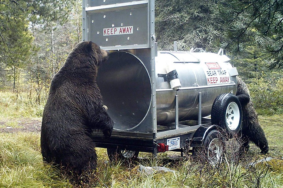 Curious bears investigate a bear trap in Glacier National Park - courtesy National Park Service