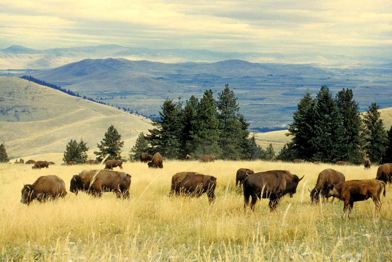 Bison herd grazing at the national bison range - U.S. Fish and Wildlife Service