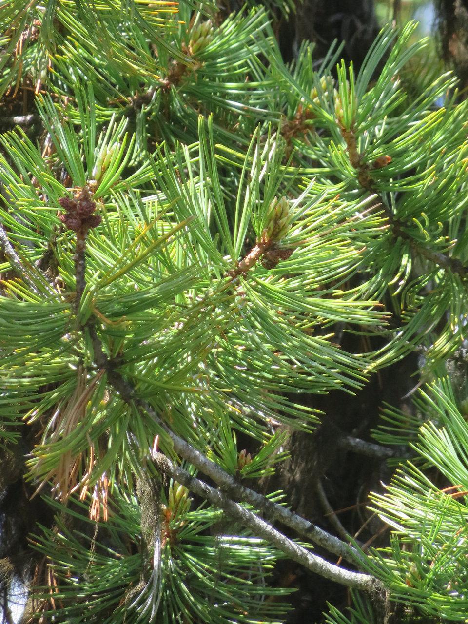 Whitebark Pine Closeup, 2016 - W. K. Walker