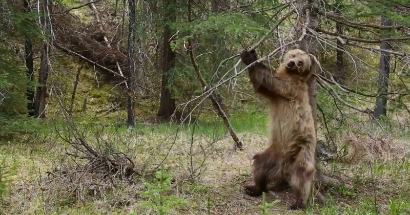 Grizzly bear boogie - BBC Planet Earth II