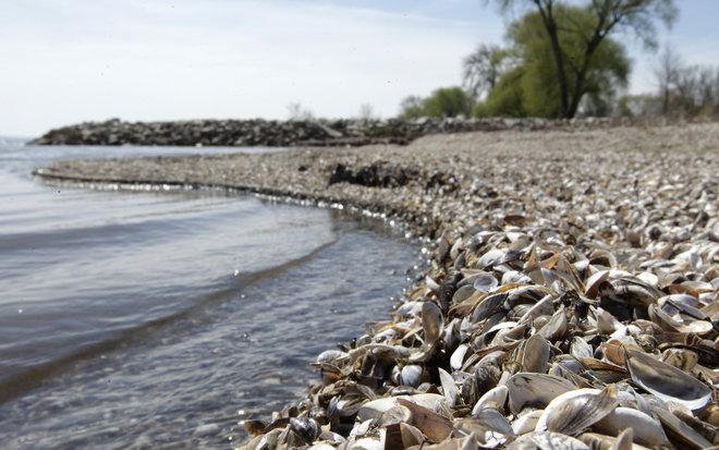 Zebra Mussel Shells Cover a Lake Michigan Limestone Beach in Door County Wisconsin - PJ Bruno