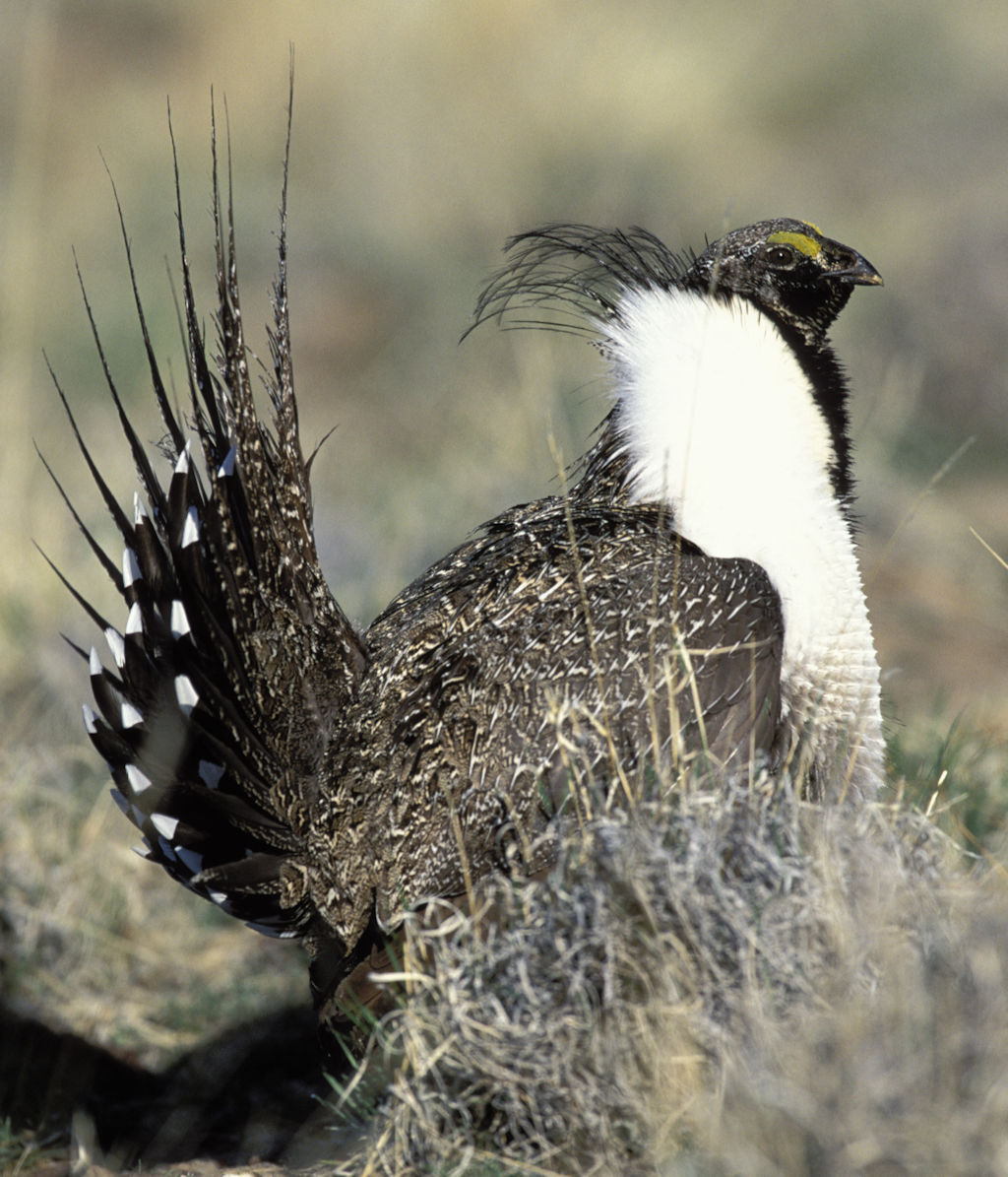 Sage Grouse - USFWS image