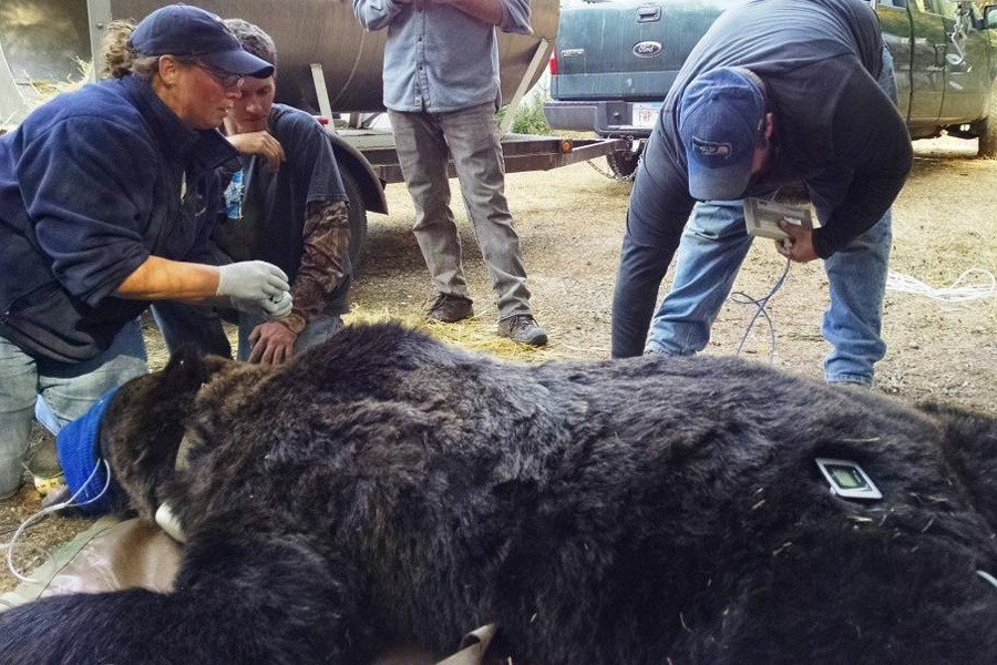 Bear Checkup near Libby - courtesy Montana FWP