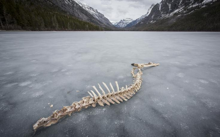 Carcass on frozen Kintla Lake - Photo by Aaron Teasdale for Sierra Club