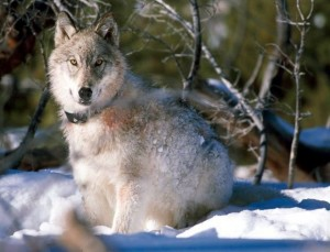 Collared Wolf - courtesy USFWS