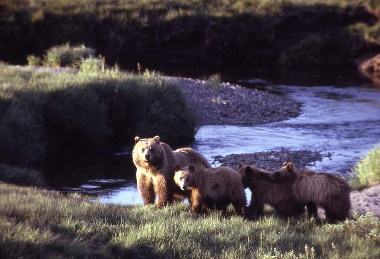 Grizzly bear sow with three cubs