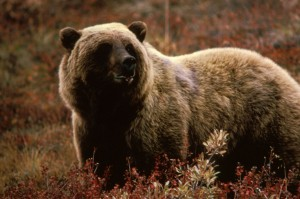 Brown Grizzly Bear - Wikipedia User Mousse