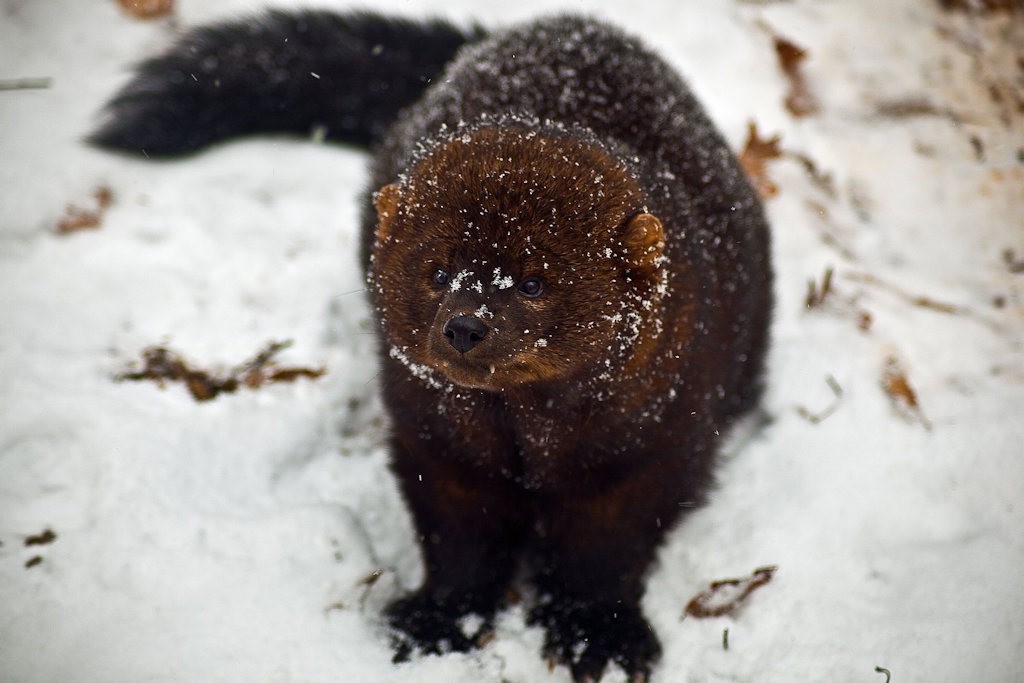 Fisher in winter coat - from Wikipedia