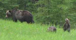 Grizzly Sow with Two Cubs - Wikipedia en:User Traveler100