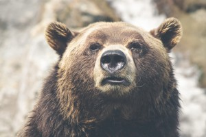 Grizzly Bear - Thomas Lefebvre, via Unsplash