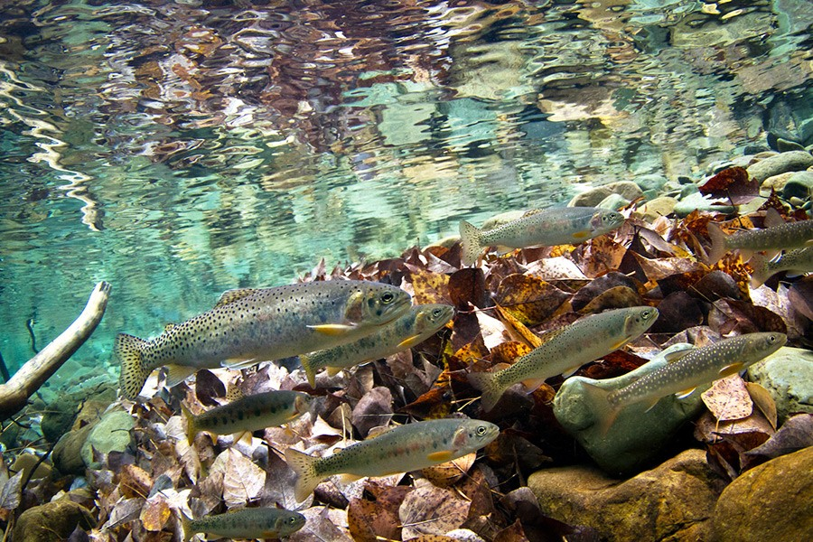 Native westslope cutthroat trout and bull trout stranded in a pool in Ole Creek. Courtesy Jonny Armstrong  USGS