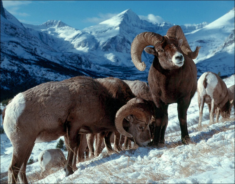 Bighorn Sheep - Kim Keating, USGS photo