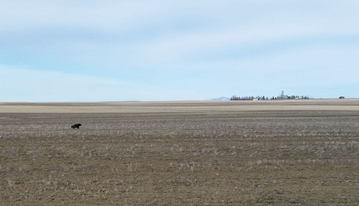 Woverine sighted by Dave Chinadle near Havre, Montana
