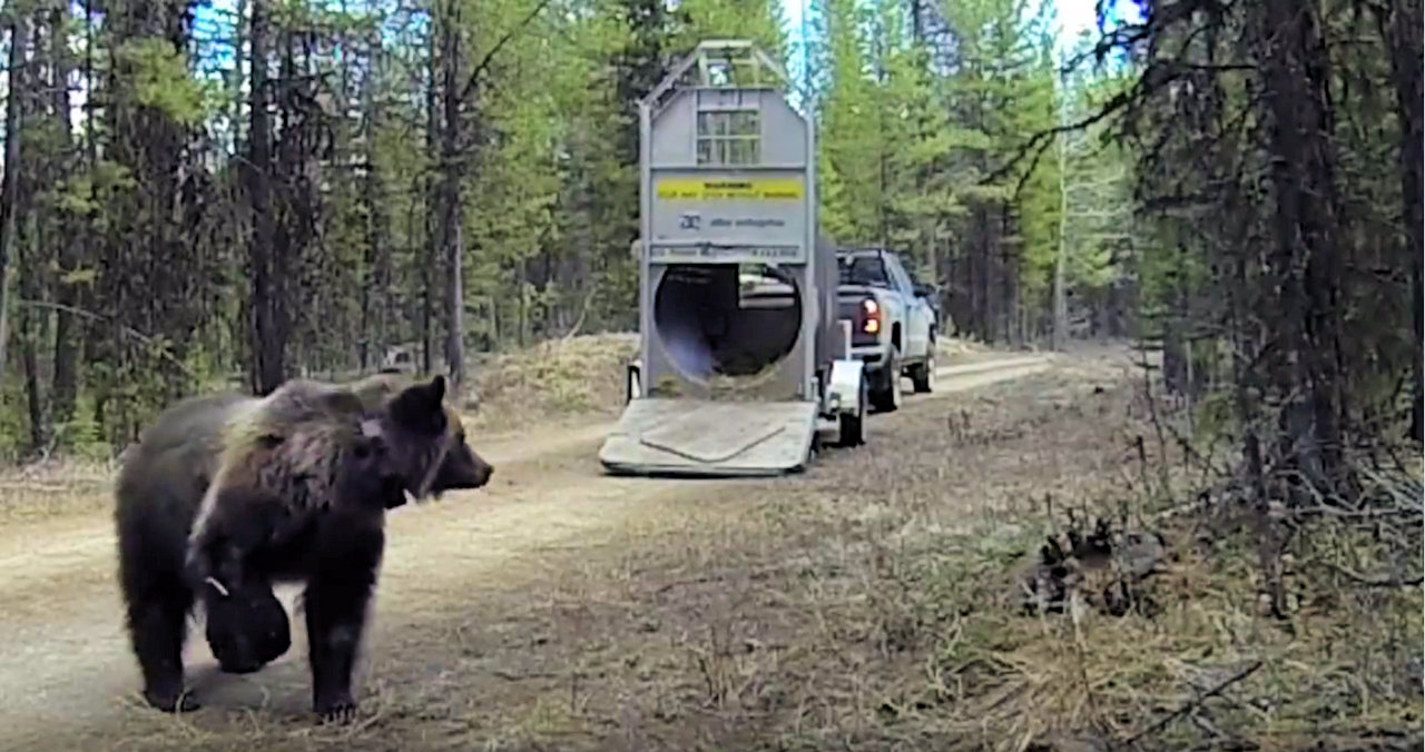 Grizzly bear release in Whale Creek drainage, April 11, 2016