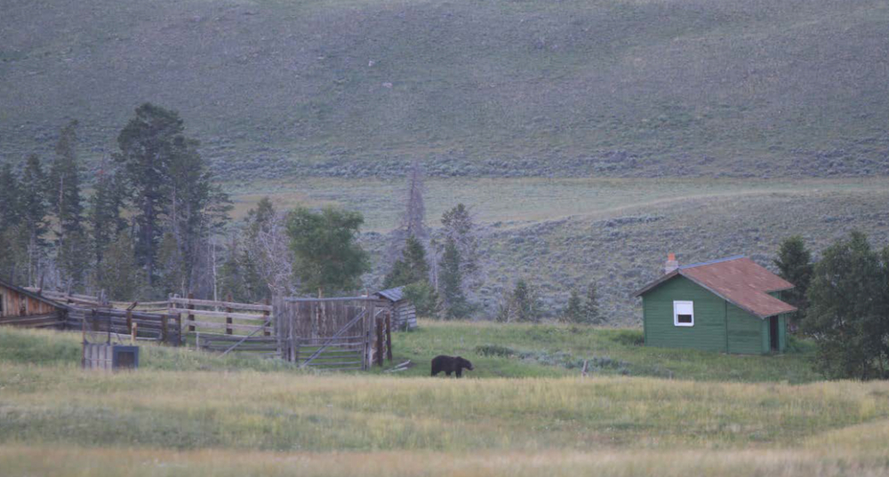 Grizzly on ranch east of Yellowstone - Wyoming Game and Fish Department