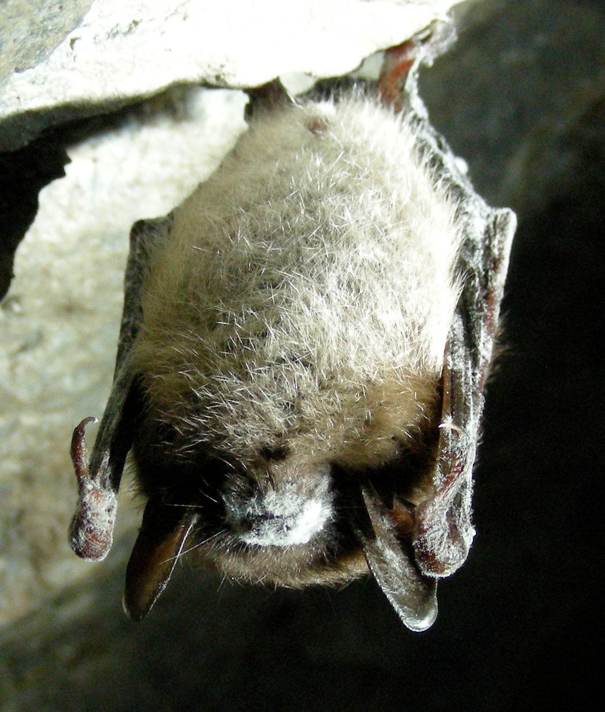 Little brown bat affected by White nose syndrome - Marvin Moriarty-USFWS