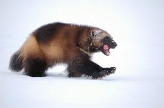 Wolverine in snow - Steve Kroschel