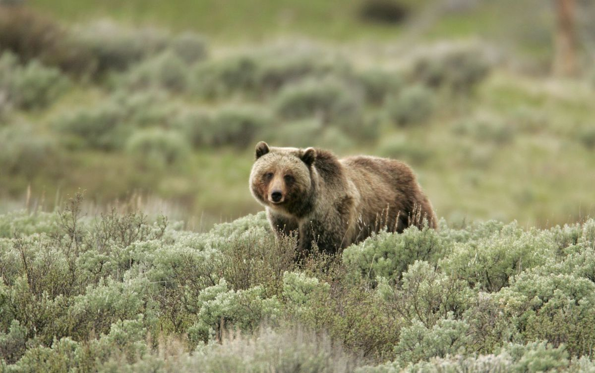 Grizzly Bear - courtesy NPS