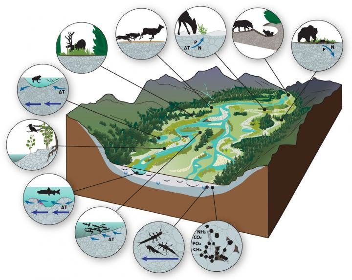 Scientific illustration shows the complexity of organisms that benefit from gravel-bed river floodplain ecosystems - credit: Ric Hauer