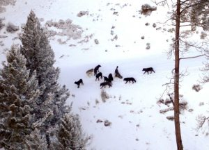 Wolves from Welcome Creek Pack in 2011 - Montana Fish, Wildlife and Parks