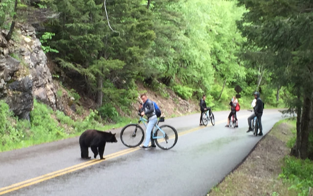 A biker on Glacier Park's Going-to-the-Sun Road photographs a black bear, May 2016 - Butch Larcombe