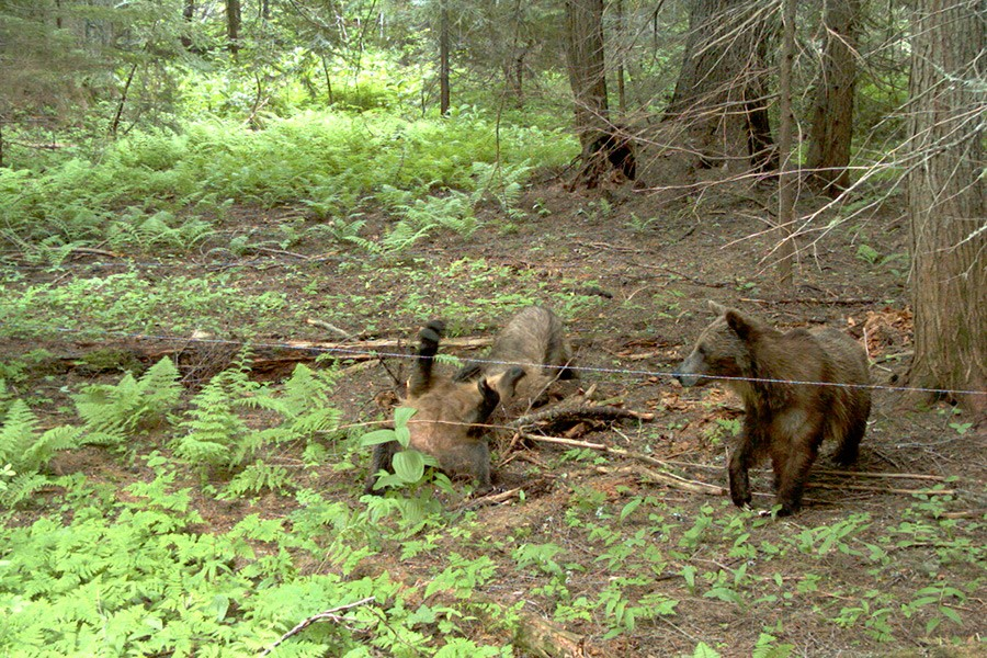 A 2009 trail cam photo of Irene, Bear 286, in the Cabinet Mountains - courtesy photo