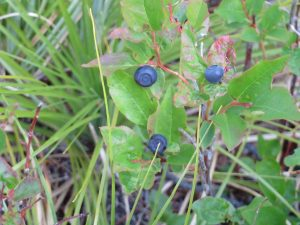 Huckleberries on Moran Creek Trail (T2) in Flathead NF - W. K. Walker