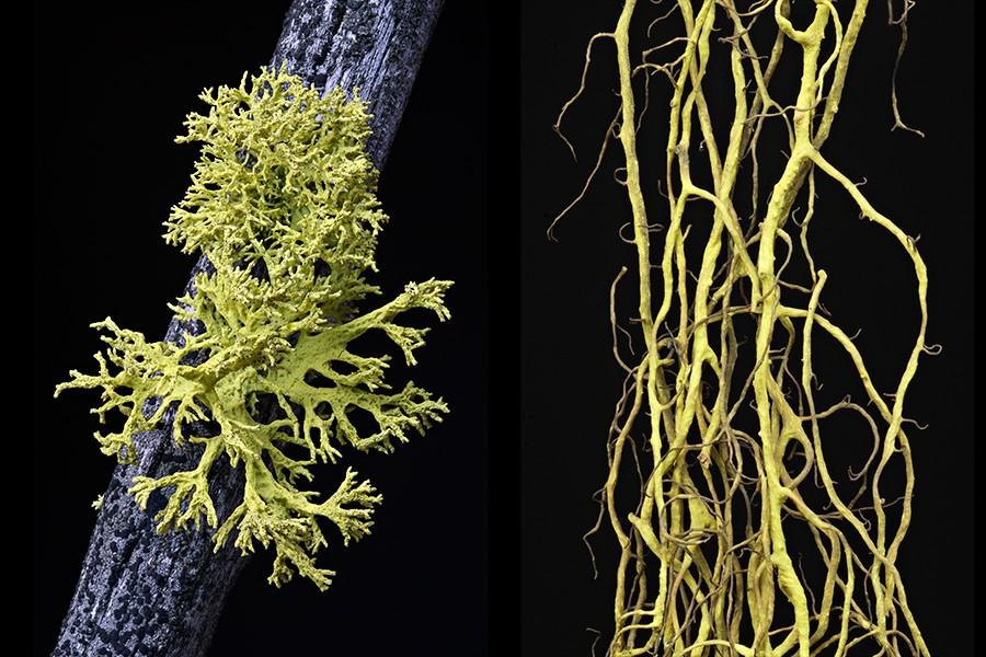 Lichens - Letharia vulpina, left, and Bryoria tortuosa - courtesy photos
