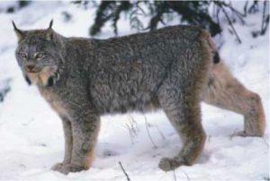 Canada lynx - USFWS