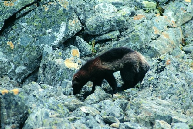 Wolverine on the rocks - USFWS