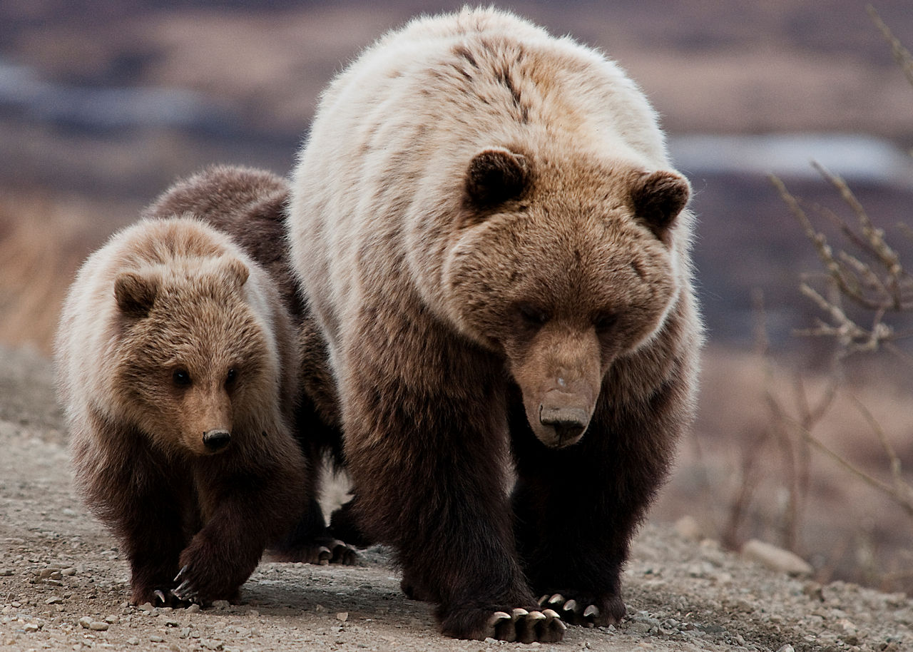 Grizzly Bear Sow and cubs - NPS photo, Tim Rains