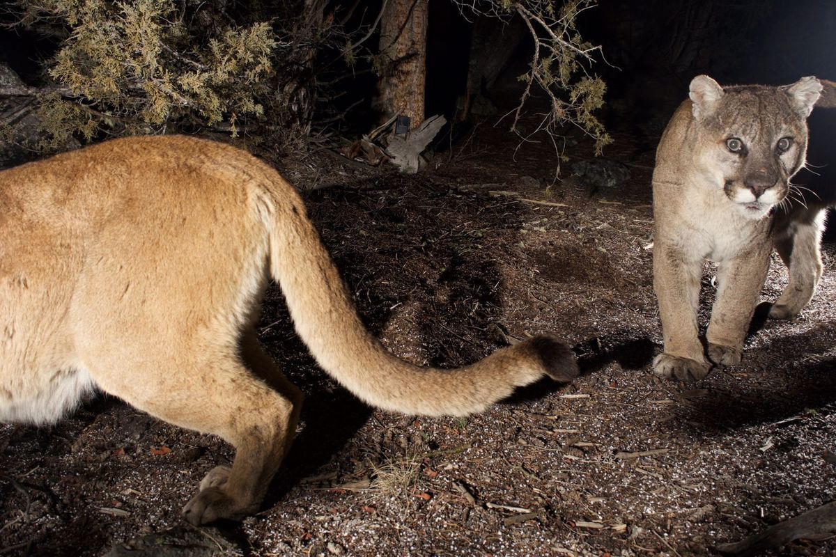 Cougars in Yellowstone National Park - Dan Stahler, NPS