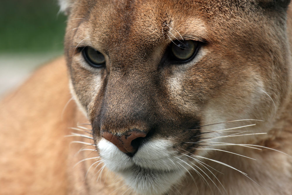 Mountain Lion (Cougar) - Montana FWP