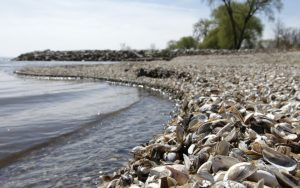 Zebra Mussel Shells Cover a Lake Michigan Limestone Beach in Door County Wisconsin - PJ Bruno