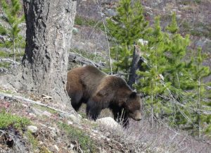 Grizzly bear near Trail Creek in North Fork Flathead region, Montana. April 11, 2017 - by Diane Boyd