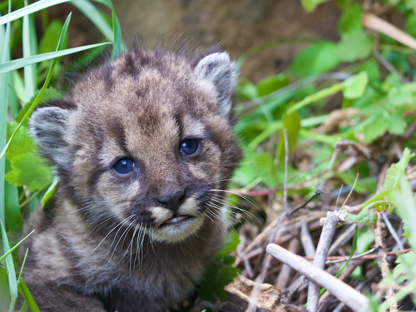 Mountain lion kitten P-54 - Santa Monica Mountains National Recreation Area - NPS photo