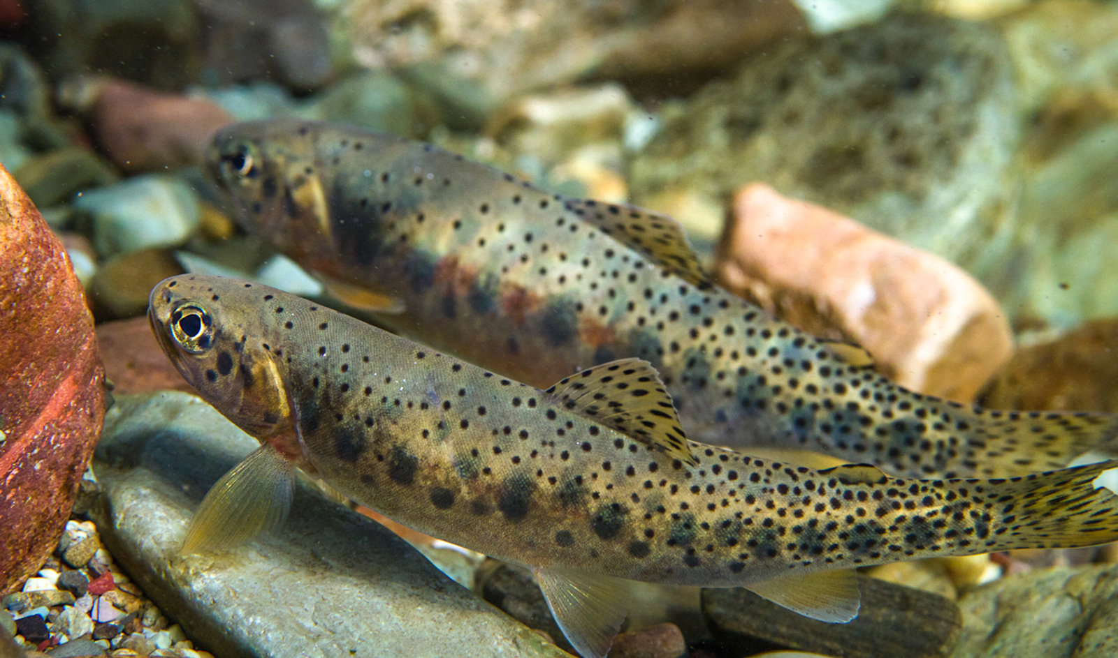 Westslope cutthroat trout in the North Fork of the Flathead River in northwestern Montana - Jonny Armstrong-USGS