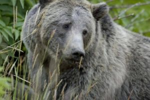 Grizzly Bear - U.S. Fish and Wildlife Service-Terry Tollefsbol, NPS