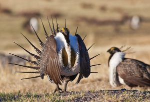 Sage Grouse - BLM photo