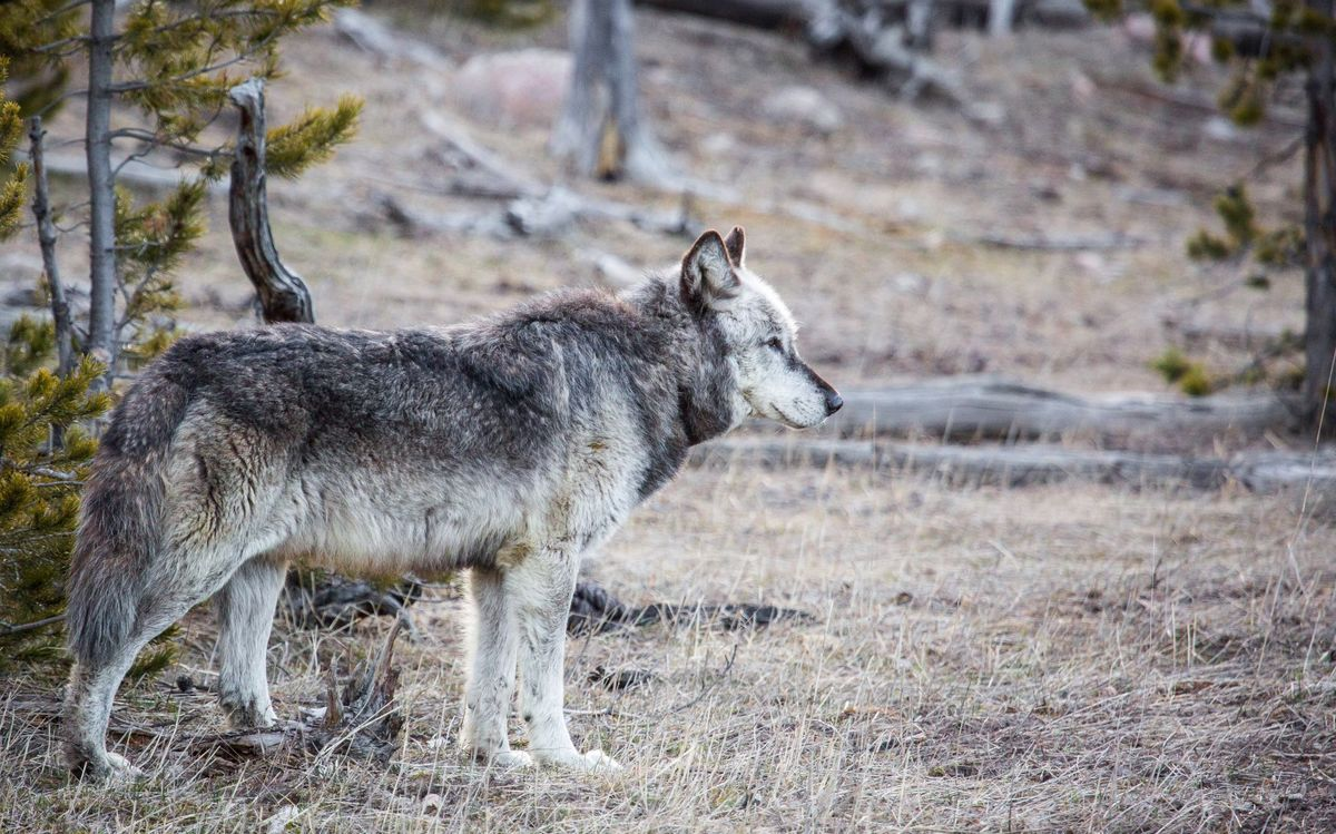 Wolf photo from 2016 of the then 11-year-old alpha male of the Yellowstone NP Canyon pack - Neal Herbert-NPS