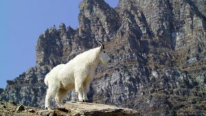 Mountain Goat - David Restivo-NPS