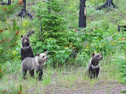 Grizzly bear cubs on old road bed - Montana Fish, Wildlife and Parks