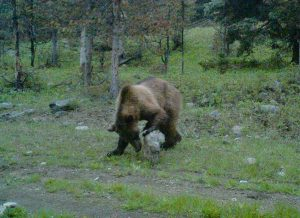 Grizzly bear inspects rock west of White Sulphur Springs - Montana FWP