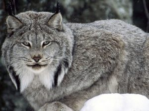Canada lynx sitting - US Fish and Wildlife Service