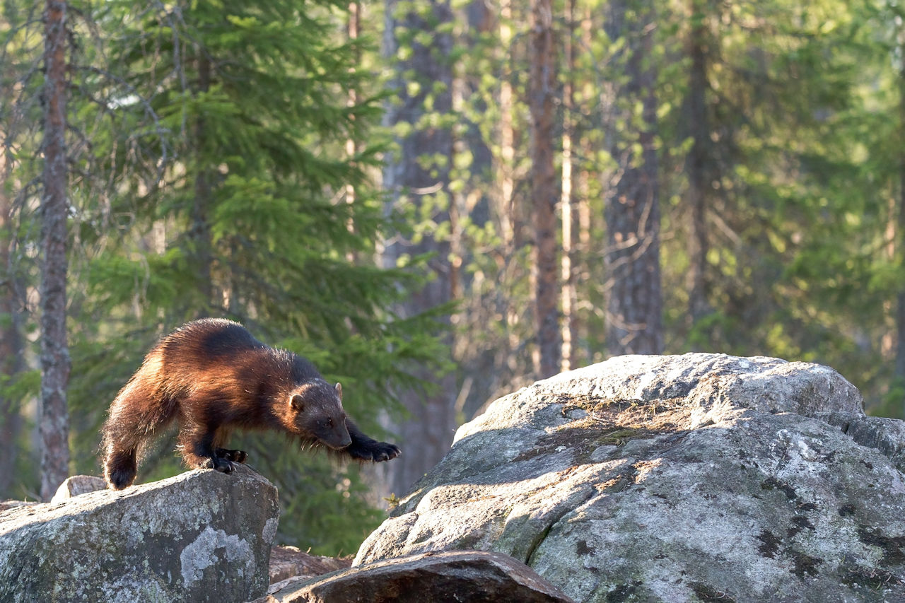 Wolverine on rocks - Photo by Hans Veth on Unsplash