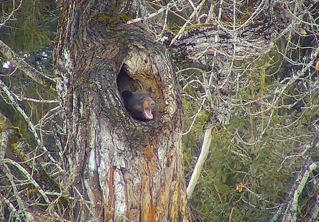 Black bear emarges from den in a cottonwood tree in Glacier National Park, late March, 2018 - courtesy of Glacier National Park